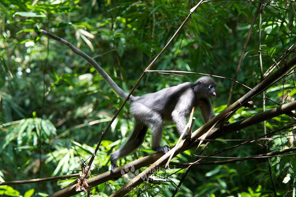 Wild Dusky Langur or Dusky Leaf-monkey (Trachypithecus obscurus) at Kaeng Krachan National Park, Thailand..