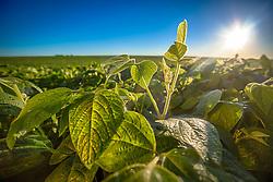 Broto em lavoura de soja, em Campo Mourão no Paraná. FOTO: Jefferson Bernardes/ Agência Preview