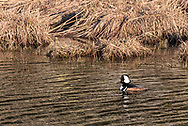 A Hooded Merganser (Lophodytes cucullatus) swimming in a channel at Katzie Marsh.  Photographed from along the Katzie Marsh Loop trail in Pitt Meadows, British Columbia, Canada.