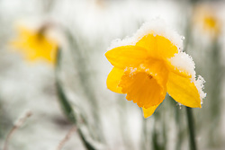 """Snowy Daffodil 1"" - This snow covered Daffodil or Narcissus flower was photographed in Truckee, California in the spring."