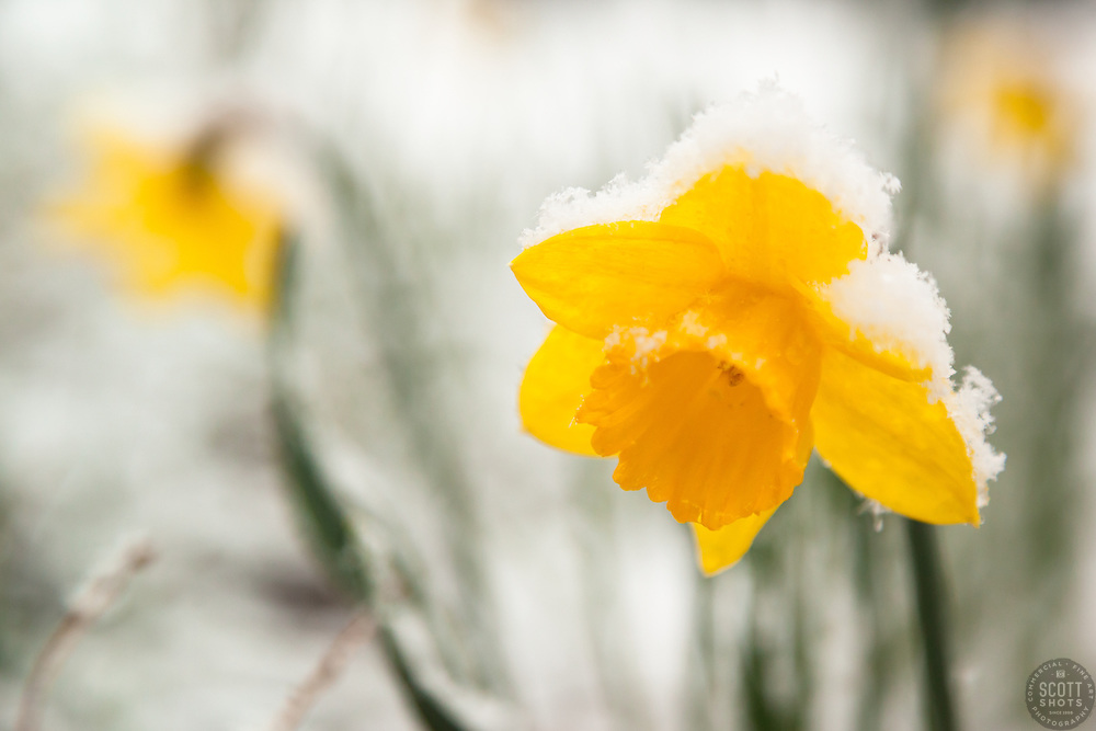 snowy daffodil scott shots photography truckee lake tahoe  snowy daffodil 1 this snow covered daffodil or narcissus flower was photographed in