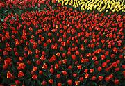 Tulips, Longwood Gardens, Philadelphia gardens and arboretums, Kennett Square, Chester Co., PA