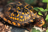 A Box Turtle along the Appalachian Trail forages in warm spring sunshine at G. Richard Thompson Wildlife Management Area in the Blue Ridge Mountains of Virginia.