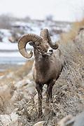 Rocky mountain bighorn sheep Bighorn ram