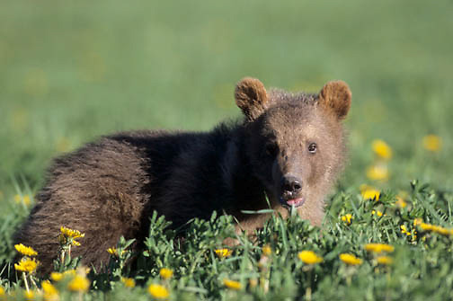 Grizzly Bear (Ursus horribilis).   A spring cub.   Captive Animal.