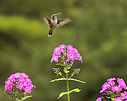 this female humming bird seems to be so happy about being here in my backyard no property release