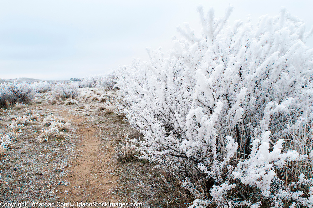 Hoar frost along a trail in the Boise foothills.