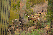Mule deer, (Odocoileus hemionus), in the Tucson Mountains near Gates Pass in Tucson Mountain Park, Sonoran Desert, Tucson, Arizona, USA.
