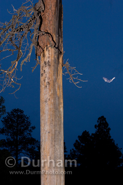 A rare allen's lappet-browed  bat (Idionycteris phyllotis) emerge from under loose bark on a dead ponderosa tree snag at dusk. Kaibab National Forest, Arizona.