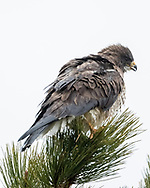 Swainsons's hawk settles feathers, perched on the top of a ponderosa pine tree, © 2015 David A. Ponton
