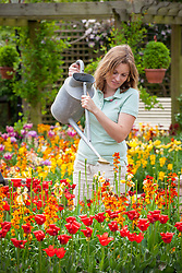 Feeding bulbs after they have finished flowering using liquid fertiliser mixed in a watering can