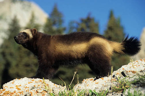 Wolverine, (Gulo gulo) Young kit. Rocky mountains. Montana. Spring. Captive Animal.