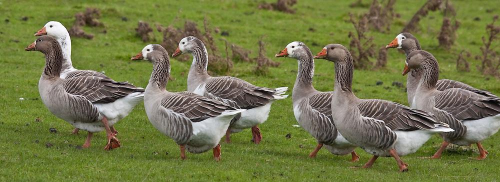 Toulouse Goose, Otago Peninsula, New Zealand