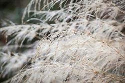 Oryzopsis miliacea. Smilo grass