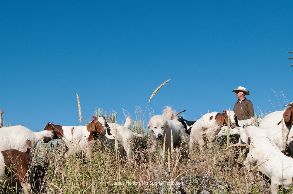 Mark Harbaugh, Patagonia fly fishing representative and goat rancher, and his gaurd dog, Sammy, herd his chemical-free noxious weed control crew in east Idaho.