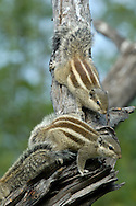 Five-striped Palm Squirrel Funambulus pennantii Length to 30cm aka Indian Palm Squirrel Fur is grizzeld-grey and brown overall with three pale stripes running lengthways along body; these are bordered by darker brown lines. Widespread across northern India. Often very tame.