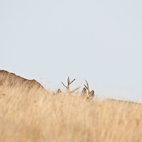 mule deer bucks fighting in tall grass