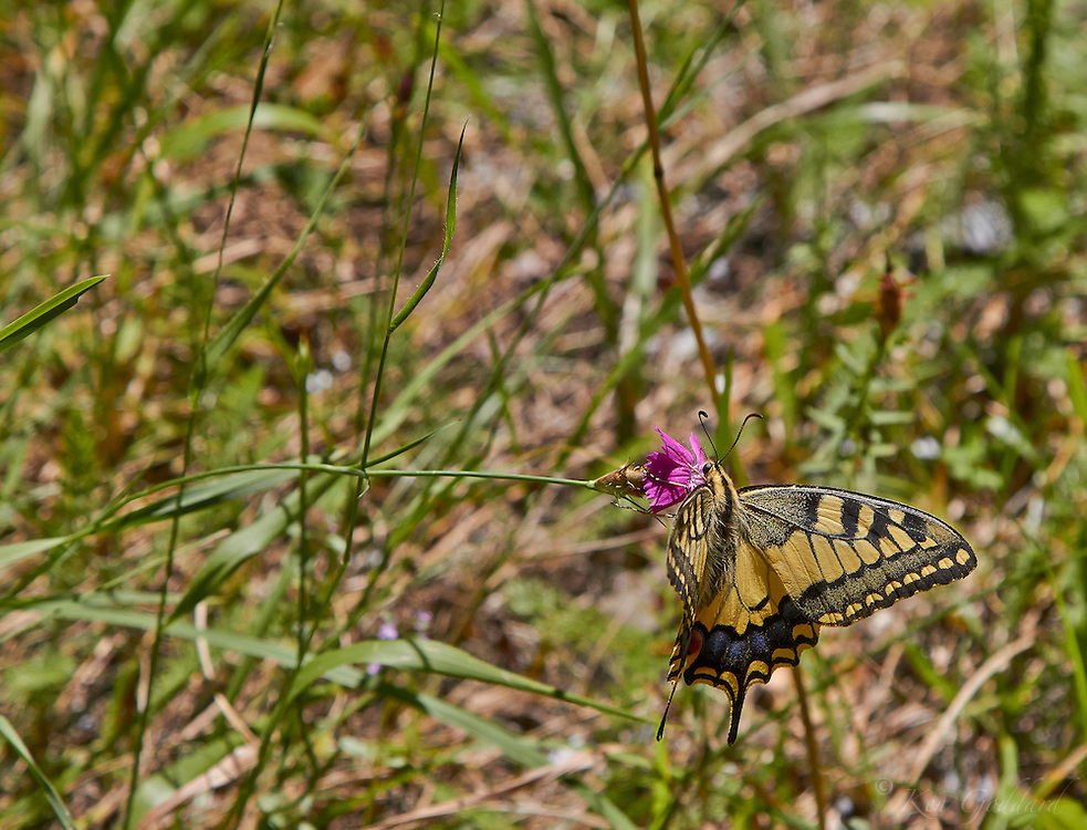 A swallowtail feeding in the Pyrenees.