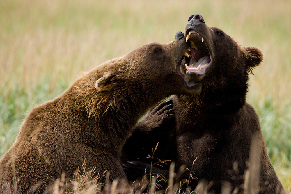 USA, Alaska, Katmai National Park, Brown Bears (Ursus arctos) sparring in tall grass along  Kukak Bay in late summer