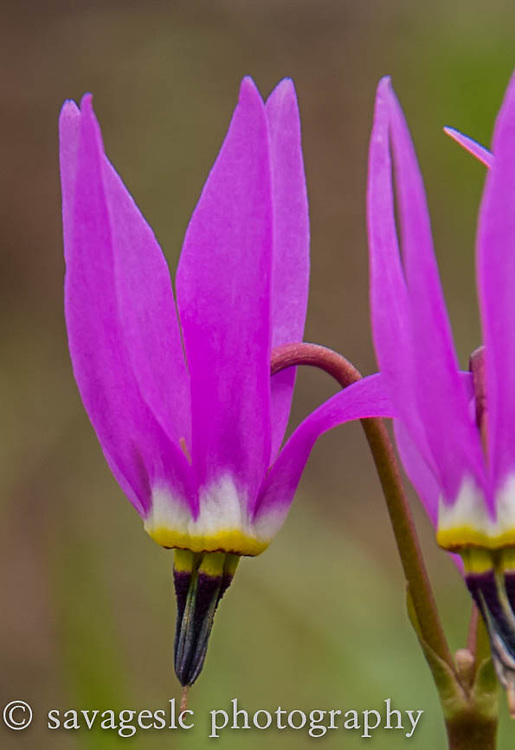 A Pretty Shooting Star wildflower. Yellowstone National Park  May 2013