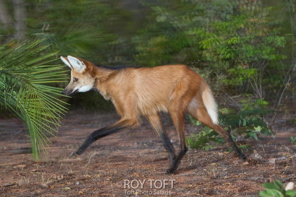Maned Wolf (Chrysocyon brachyurus), Piaui, Brazil