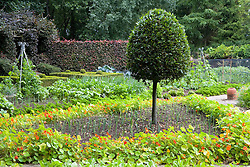 Clipped standard bay tree in the vegeatble garden at Ballymaloe Cookery school. Leek bed lined with nasturtiums