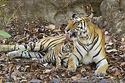 Bengal Tiger<br /> Panthera tigris <br /> Mother grooming eight week old cub at den <br /> Bandhavgarh National Park, India