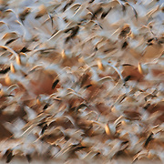 Snow geese lift off at sunrise to create an abstract motion blur in New Mexico.