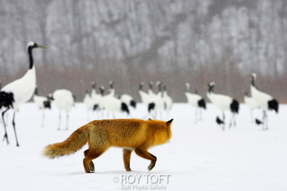 A lone red fox stalking red crowned cranes, Hokkaido, Japan.