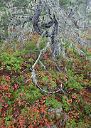 A study of the lichen covered old growth pitch pine and fall colors of the berry bushes at Wonderland in Acadia National Park, Maine.