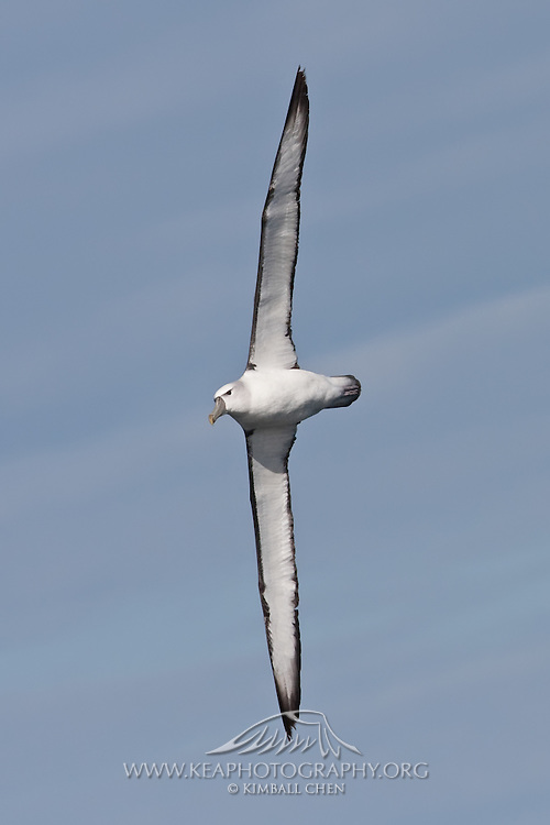 Shy Albatross, Kaikoura, New Zealand