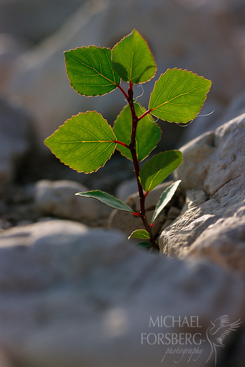 Cottonwood sapling. North Platte River Valley, Nebraska
