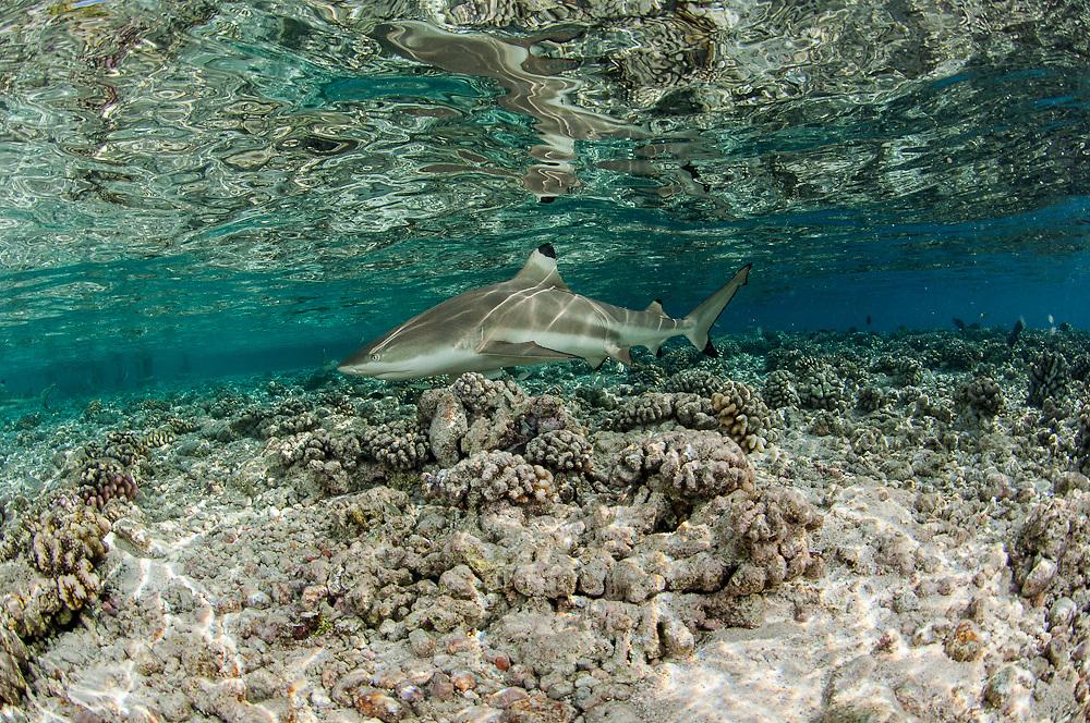 A Black tip Reef Shark, Carcharhinus melanopterus, swims in the shallows of Tetamanu Pass, Fakarava Atoll, French Polynesia