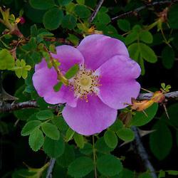 Nootka Rose (Rosa nutkana), Gossip Island, San Juan Islands, Washington, US