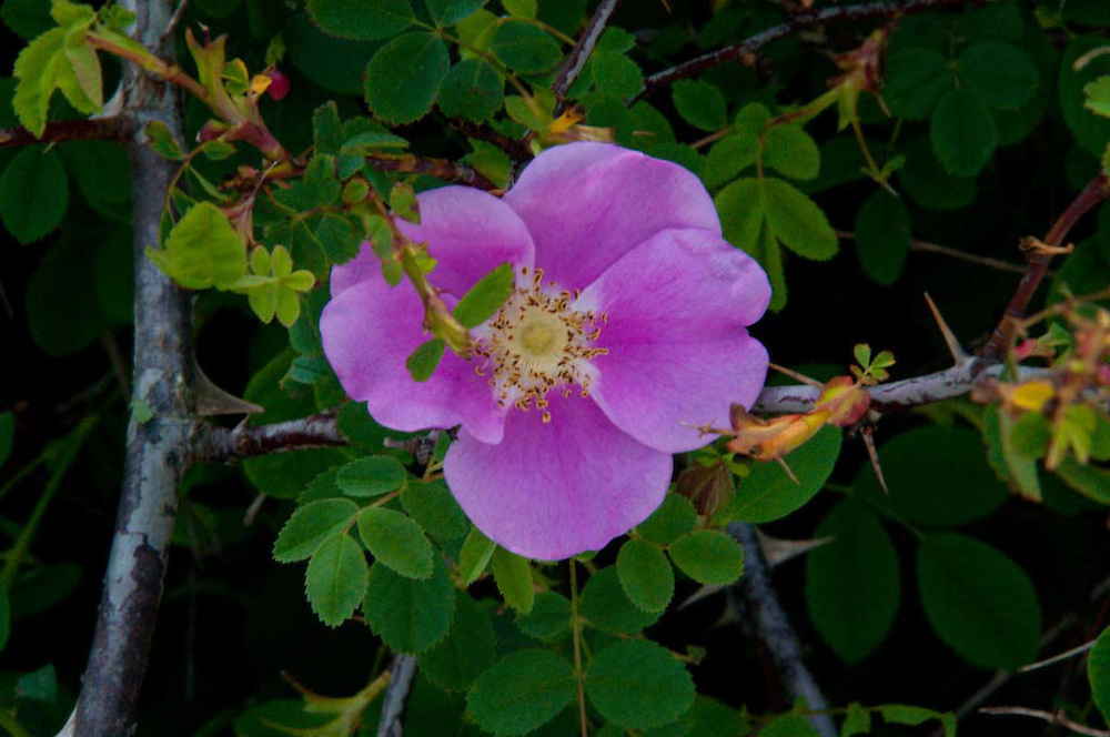 Nootka Rose (Rosa nutkana), Gossip Island, San Juan Islands, Washington, US