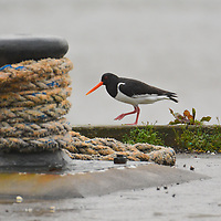 Oyster Catcher in Carbost, Isle of Skye