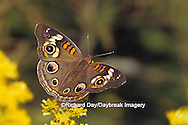 03411-00912 Common Buckeye (Junonia coenia) on Goldenrod (Solidago sp.) Ballard Nature Center, Effingham Co.  IL