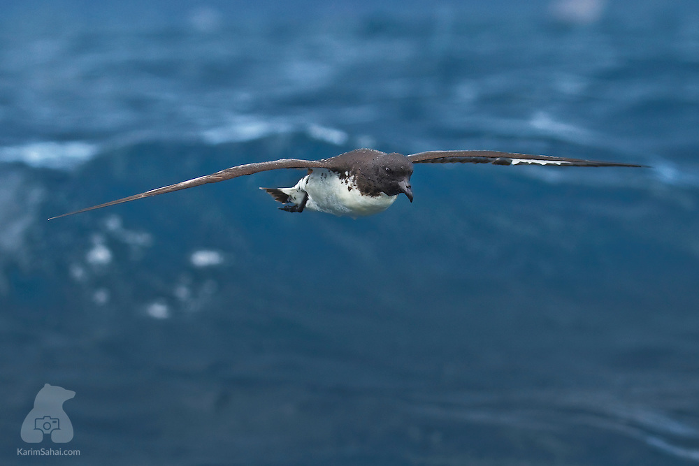 A Cape Petrel (Daption capense) in flight, Kaikoura, New Zealand. Cape Petrels, also called Cape Pigeons, are the noisiest of the petrel species. Others are mostly silent, when at sea. Cape Petrels feature a distinctive black and white mottled pattern on their wings. Their breeding grounds are the small rocky islands at the periphery of the Antarctic.