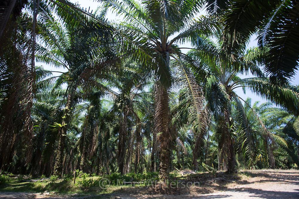 oil palm plantation in malaysia pdf