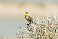Meadowlarks have a wide range across the United States broken down to two species the e Eastern Meadowlark and this one the Western Meadowlark.