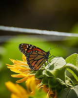 Monarch Butterfly. Image taken with a Nikon 1 V3 camera and 70-300 mm VR lens