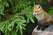 Young red fox (Vulpes vulpes)  on rock<br /> Killarney Provincial Park<br /> Ontario<br /> Canada