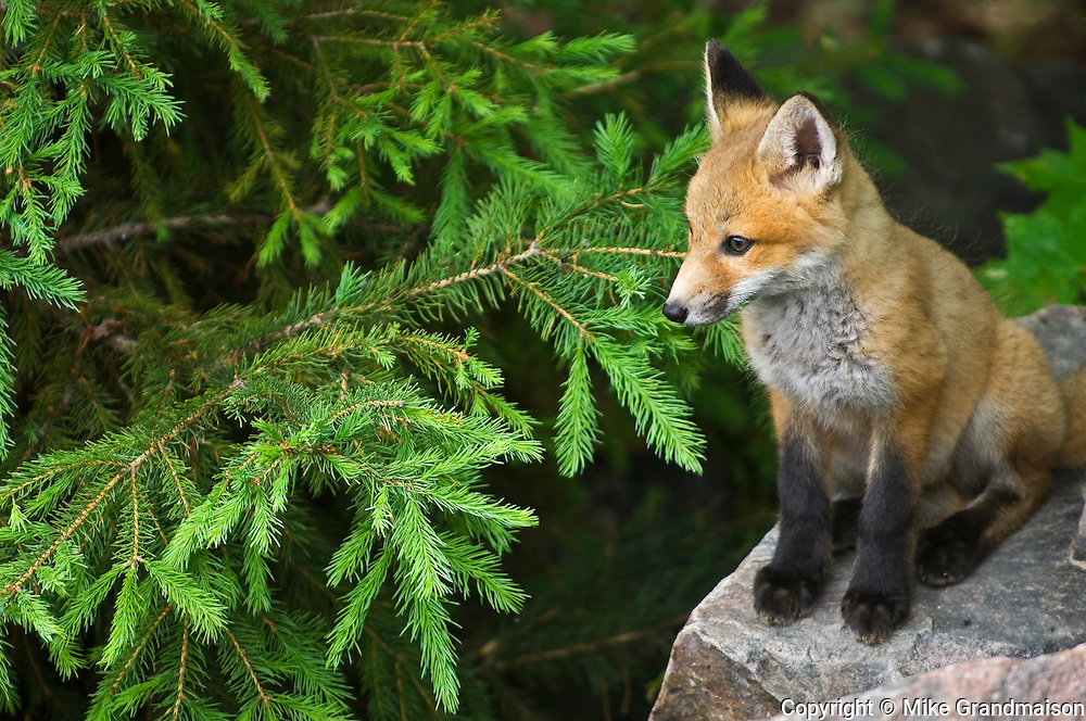 Young red fox (Vulpes vulpes)  on rock<br /> Killarney Provincial Park<br /> Ontario<br /> Canada