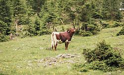 THEMENBILD - eine Pinzgauer Kuh steht auf einer Almweide zwischen Nadelbäumen, aufgenommen am 23. Juni 2019, am Hintersee in Mittersill, Österreich // a Pinzgauer cow stands on an alpine pasture between conifers on 2019/06/23, Hintersee in Mittersill, Austria. EXPA Pictures © 2019, PhotoCredit: EXPA/ Stefanie Oberhauser