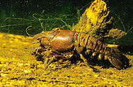 Virile Crayfish<br /> <br /> ENGBRETSON UNDERWATER PHOTO