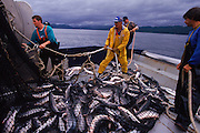 Salmon fishing, Campbell River, Johnson Straits. - As the waters of the Pacific grow warmer, salmon are changing their migration routes in search of colder water.  Warming oceans could threaten Pacific Northwest salmon because the highly temperature-sensitive fish live in ocean areas likely to be affected by global warming.  already they are starting to change their migrating habits. If atmospheric carbon dioxide levels increase at current rates, the North Pacific Ocean could warm two degrees Celsius by 2070, a study by the Pacific Biological Station in British Columbia said.  That shift could reduce the salmon's preferred cold-water habitat areas by 50% in the summer, and possibly make the entire ocean too warm for any salmon species to survive during the winter.  Salmon might have to migrate into the Bering Sea and out of the North Pacific Ocean entirely to find cold enough water during the winter months. Aurora image #1887405603