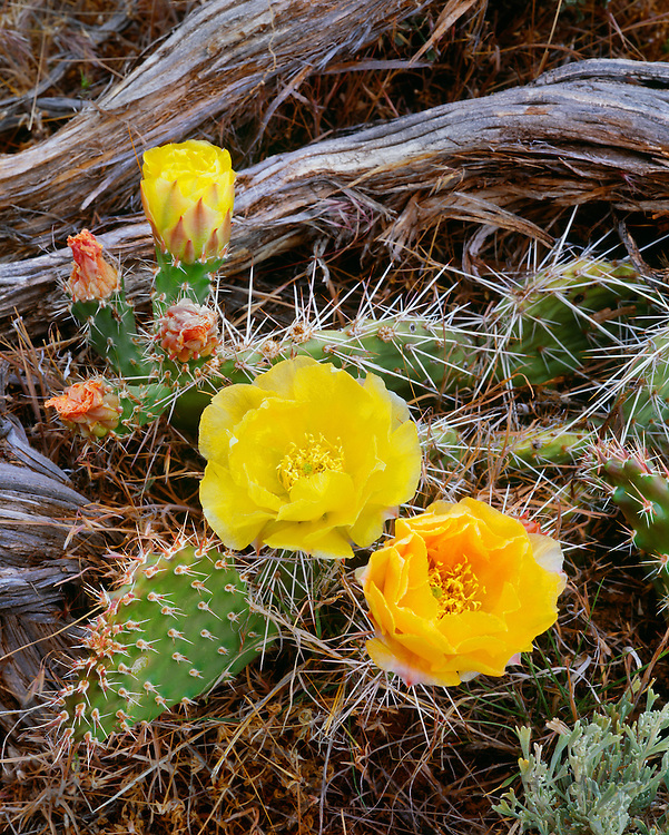 0303-1077 ~ Copyright: George H.H. Huey ~ Pricklypear cactus [Opuntia erinacea] in bloom in pinyon-juniper woodland.  Island In The Sky.  Canyonlands National Park, Utah.