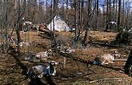 Mongolia. Tsatan family. raindeer, tipi, tent cattle breder, siberia tribe. snow in the norh near Tsagan Nuur  Hovsgul aimak     /  les Tsatan . eleveurs de rennes. des tipis en guise de tente. neige dans le nord pres Tsagan Nuur  Hovsgul province de    /      L0008023  /  R20577  /  P114248