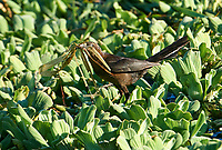 Female Great-tailed Grackle (Quiscalus mexicanus) collecting nesting material Jocotopec, Jalisco, Mexico