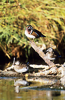 Wood Duck (Aix sponsa) male and females, Fish Creek Provincial Park, Near Calgary, Alberta, Canada - Photo: Peter Llewellyn
